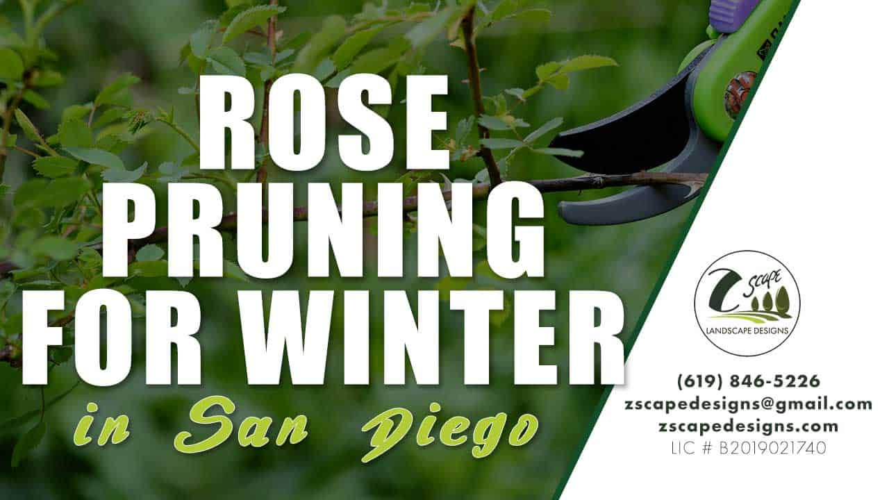 Rose Pruning for San Diego Winter