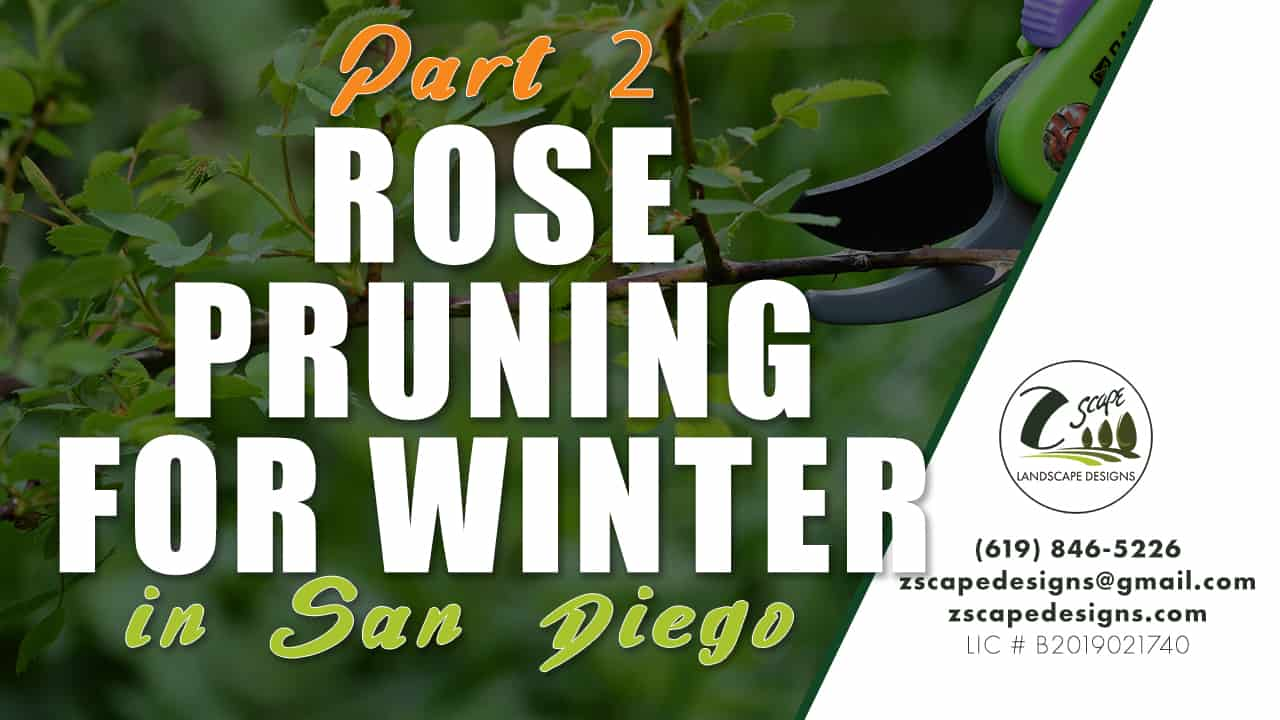 Rose Pruning for Winter in San Diego Part 2